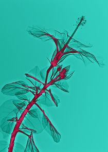 Durchleuchteter Hibiskus von Lanuma - colourful art