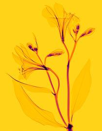 Durchleuchtete Inkalilie  by Lanuma - colourful art