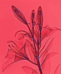 Durchleuchtete Lilie  von Lanuma - colourful art