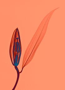 Durchleuchtete Lilienblüte Vol. 3 von Lanuma - colourful art