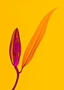 Durchleuchtete Lilienblüte  von Lanuma - colourful art