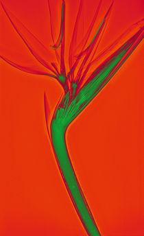 Durchleuchtete Strelitzie Vol. 2 von Lanuma - colourful art