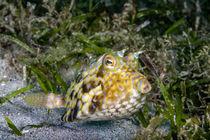 Kuhfisch im Seegras von Harald Schottner