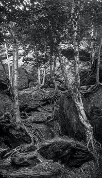 The Notch Trees 1 by James Aiken