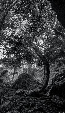 The Notch Trees 3 by James Aiken