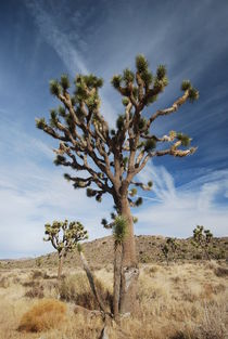 Joshua Tree NP - California by usaexplorer