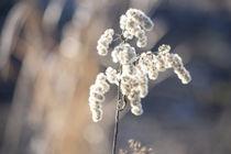 Winterblume im Sonnenlicht by Petra Dreiling-Schewe