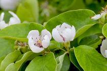 Blüten der Quitte im frühen Sommer, Cydonia oblonga by Werner Meidinger