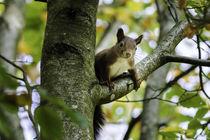 Eichhörnchen by urbanek-b