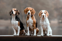 Beagles von Bettina Dittmann