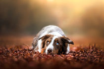 Australian Shepherd No. 4 by Bettina Dittmann