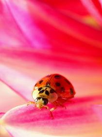 Lady Bird / lady bug on a pink Dahlia von amineah