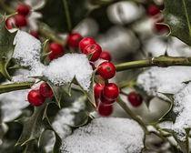 winter berries (Ilex) by Dietmar Wolf