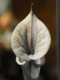 Fleischfressende Pflanze Sarracenia von Sabine Seiter