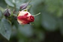 Zartes Erblühen von freakarellasfotografie