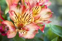 Lilien von freakarellasfotografie