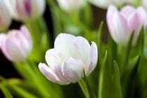 Tulpen von freakarellasfotografie