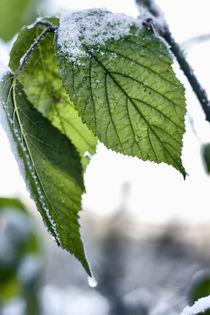 Blätter im Schnee von freakarellasfotografie
