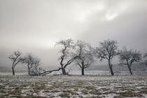 Obstbäume im Winter mit Raureif bei Stockach im Hegau von Christine Horn
