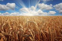 Getreidefeld mit Sonnenaufgang von ollipic