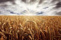 Sonnenaufgang über einem Getreidefeld von ollipic