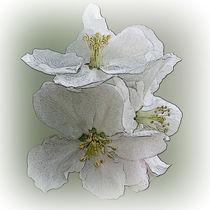 three white flowers von feiermar