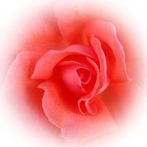 pink coral rose von feiermar