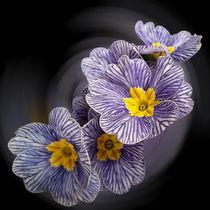 Primrose  flowers von feiermar