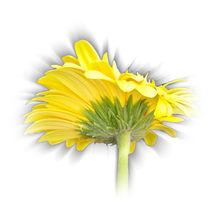 yellow gerbera daisy von feiermar