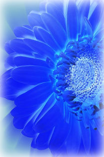 electric blue gerbera von feiermar