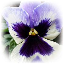 deep purple on white pansy by feiermar