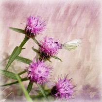 Large White on Knapweed Flowers by Liz Alderdice