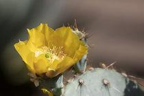 Amazing Golden Cactus Flower by Elisabeth  Lucas