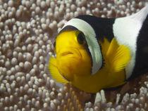 Anemonenfisch | Close Up! von Ute Niemann