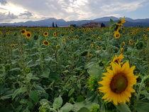 Blühende Sonnenblume by wirmallorca