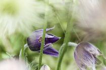 Blume IV - Kuhschelle von Michael Schulz-Dostal