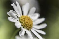 Blume VI - Gänseblümchen von Michael Schulz-Dostal