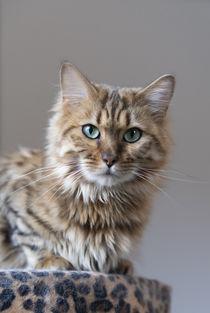 Cashmere Bengal Katze von Heidi Bollich