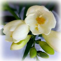 white yellow freesia von feiermar