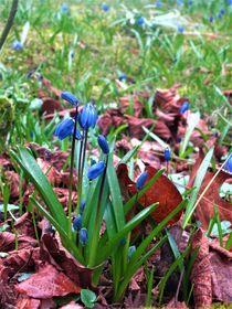 Blaustern, direkt durchs Laub gewachsen von assy