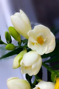 Shades of yellow on white freesia von feiermar