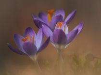 Krokusse auf der Wiese by micha-trillhaase-fotografie