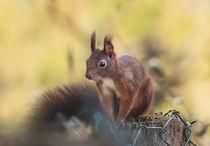 Eichhörnchen im Sonnenlicht von micha-trillhaase-fotografie