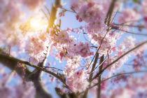 Kirschblüten  von fraenks