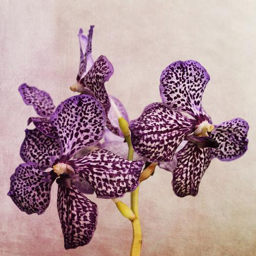 Dsc-9809-dot-orchidee2-05-17