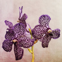 Orchidee by Heidi Bollich