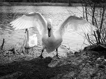 Schwan mit Flügelschlag von Michael Winter
