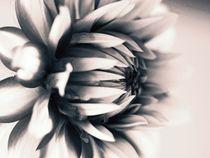 Dalie schwarz-weiß von vogtart