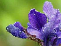 Iris von vogtart