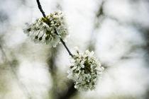Kirschblüten by urbanek-b